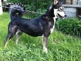 Собаки, щенята Східно-сибірська лайка, ціна 5000 Грн., Фото