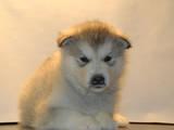 Собаки, щенки Аляскинский маламут, цена 1900 Грн., Фото