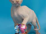 Кішки, кошенята Канадський сфінкс, ціна 1500 Грн., Фото