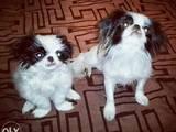 Собаки, щенята Японський хіни, ціна 11500 Грн., Фото