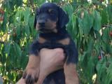 Собаки, щенята Доберман, ціна 10000 Грн., Фото