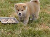 Собаки, щенята Акіта-іну, ціна 14000 Грн., Фото