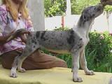 Собаки, щенки Немецкий дог, цена 6500 Грн., Фото