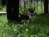 Собаки, щенята Мініатюрний бультер'єр, ціна 4099 Грн., Фото