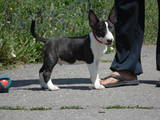 Собаки, щенки Миниатюрный бультерьер, цена 4099 Грн., Фото