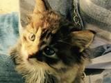 Кішки, кошенята Невідома порода, ціна 200 Грн., Фото