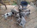 Собаки, щенята Дірхаунд, ціна 500 Грн., Фото