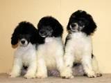 Собаки, щенята Малий пудель, ціна 3000 Грн., Фото