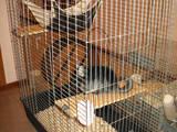 Грызуны Шиншиллы, цена 400 Грн., Фото