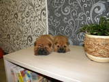 Собаки, щенки Шарпей, цена 2800 Грн., Фото