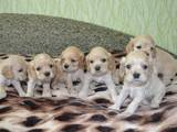 Собаки, щенята Американський коккер, ціна 1500 Грн., Фото