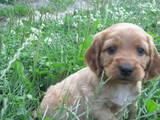 Собаки, щенята Англійський коккер, ціна 850 Грн., Фото