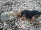 Собаки, щенки Вельштерьер, цена 3500 Грн., Фото