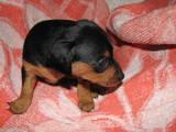 Собаки, щенята Доберман, ціна 2100 Грн., Фото
