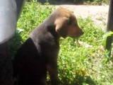 Собаки, щенки Русский спаниель, цена 600 Грн., Фото