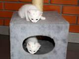 Кішки, кошенята Європейська короткошерста, ціна 1 Грн., Фото