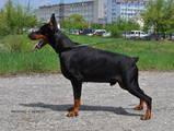 Собаки, щенки Доберман, цена 7000 Грн., Фото