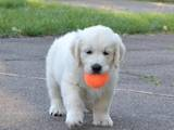 Собаки, щенки Золотистый ретривер, цена 9000 Грн., Фото