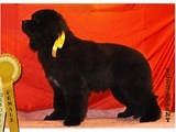 Собаки, щенки Ньюфаундленд, цена 15000 Грн., Фото