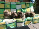 Собаки, щенята Кавказька вівчарка, ціна 2500 Грн., Фото
