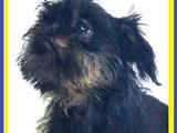 Собаки, щенки Бельгийский гриффон, цена 7700 Грн., Фото