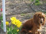 Собаки, щенки Английский коккер, цена 800 Грн., Фото