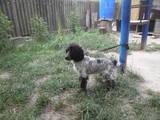 Собаки, щенки Русский спаниель, цена 2500 Грн., Фото