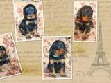 Собаки, щенки Сеттер-гордон, цена 10000 Грн., Фото