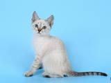 Кошки, котята Тайская, цена 300 Грн., Фото