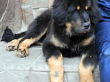 Собаки, щенята Тибетський мастиф, ціна 15000 Грн., Фото