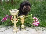 Собаки, щенята Брюссельський гріффон, ціна 6500 Грн., Фото