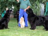 Собаки, щенки Ньюфаундленд, цена 10000 Грн., Фото