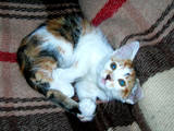 Кішки, кошенята Європейська короткошерста, Фото
