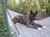 Собаки, щенята Американський акіта, Фото