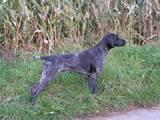 Собаки, щенята Німецька гладкошерста лягава, ціна 250 Грн., Фото