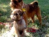 Собаки, щенки Брюссельский гриффон, цена 7000 Грн., Фото