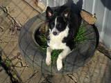 Собаки, щенята Пінчер, ціна 200 Грн., Фото