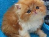 Кошки, котята Персидская, цена 500 Грн., Фото