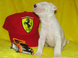 Собаки, щенята Бультер'єр, ціна 8000 Грн., Фото