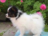 Собаки, щенята Папільон, ціна 15000 Грн., Фото