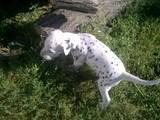 Собаки, щенята Далматин, ціна 1300 Грн., Фото