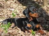 Собаки, щенята Гладкошерста такса, ціна 700 Грн., Фото