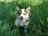 Собаки, щенки Вельш корги пемброк, цена 16000 Грн., Фото