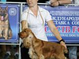 Собаки, щенята Англійський коккер, ціна 4500 Грн., Фото