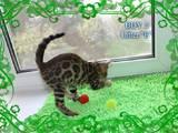 Кішки, кошенята Бенгальськая, ціна 9000 Грн., Фото