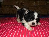 Собаки, щенята Кавалер-кинг-чарльз спаніель, ціна 3000 Грн., Фото