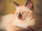Кошки, котята Сиамская, цена 350 Грн., Фото
