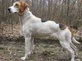 Собаки, щенки Русская борзая, цена 2000 Грн., Фото
