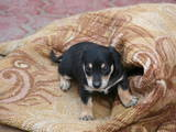 Собаки, щенки Гладкошерстная такса, цена 75 Грн., Фото