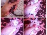 Грызуны Домашние крысы, Фото